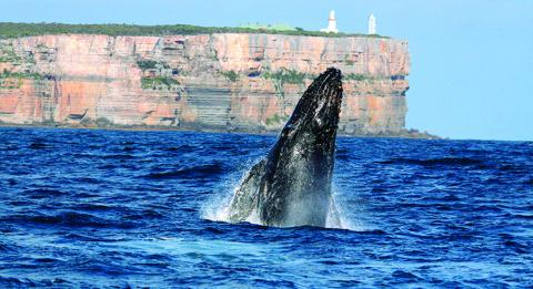 Whale breaching at Point Perpendicular, Jervis Bay, New South Wales